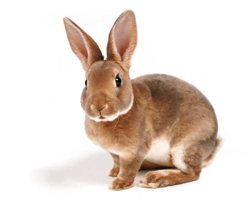 A brown rabbit isolated on white