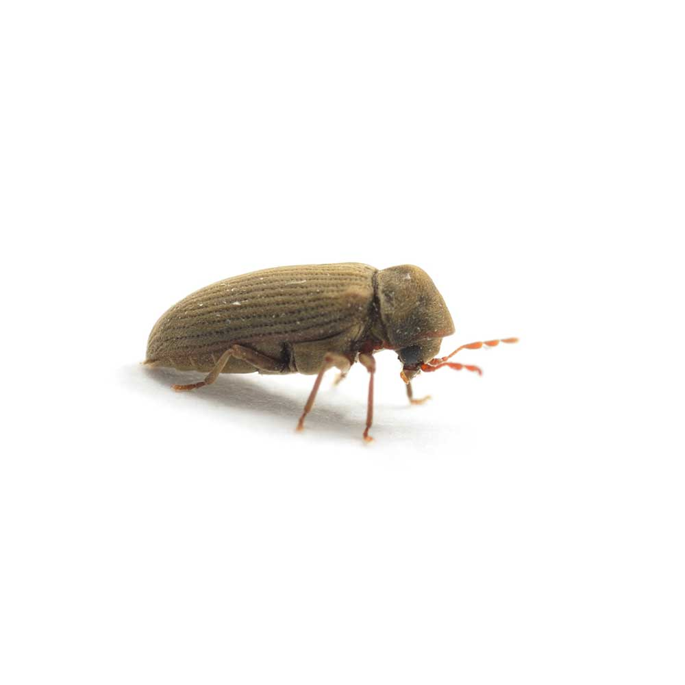 Woodworm beetle isolated on white