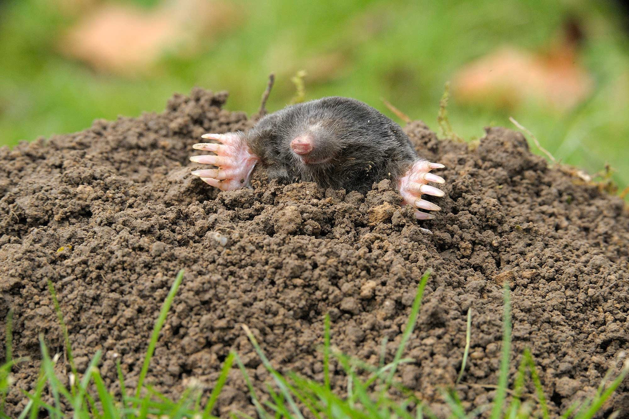 A mole emerging from its hole in the grass