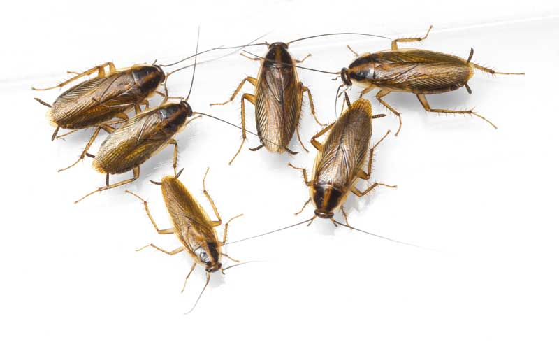 Close up of six cockroaches