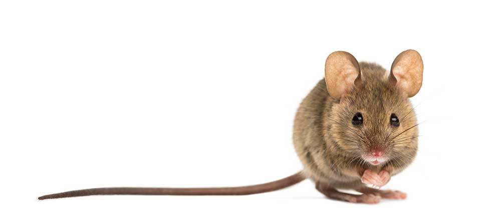 Mouse with long tail isolated on white
