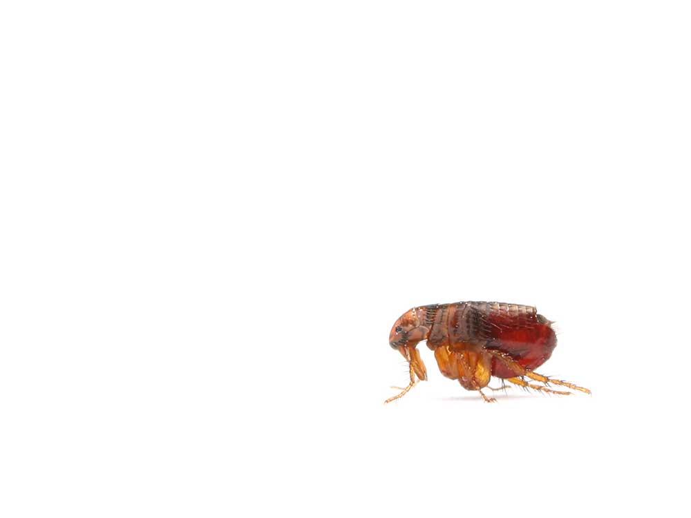 Flea isolated on white