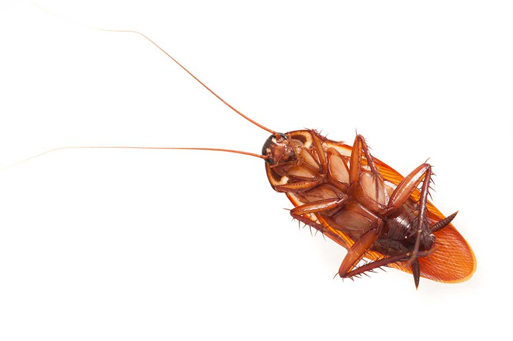 Cockroach on its back isolated on white