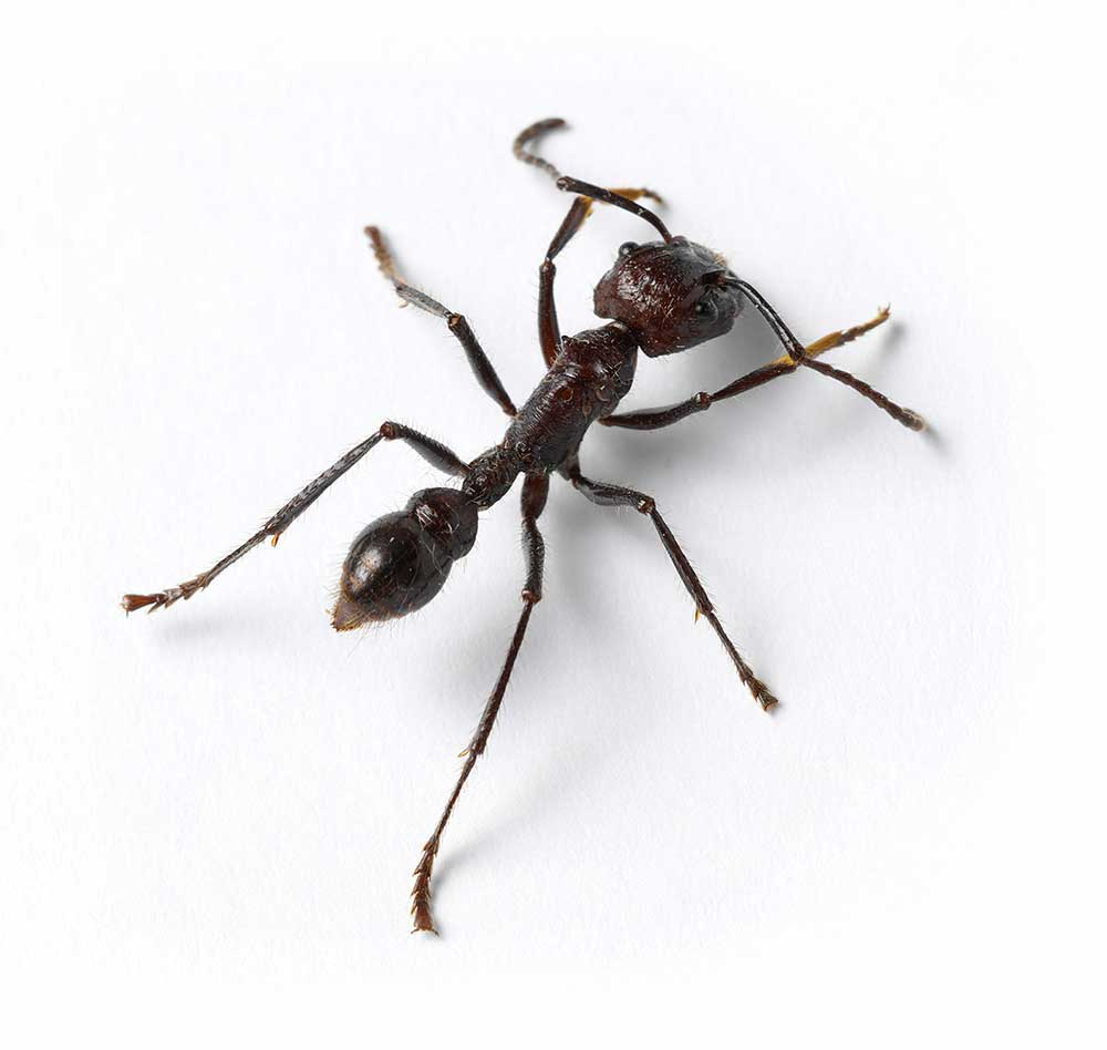 Close up of an ant isolated on white