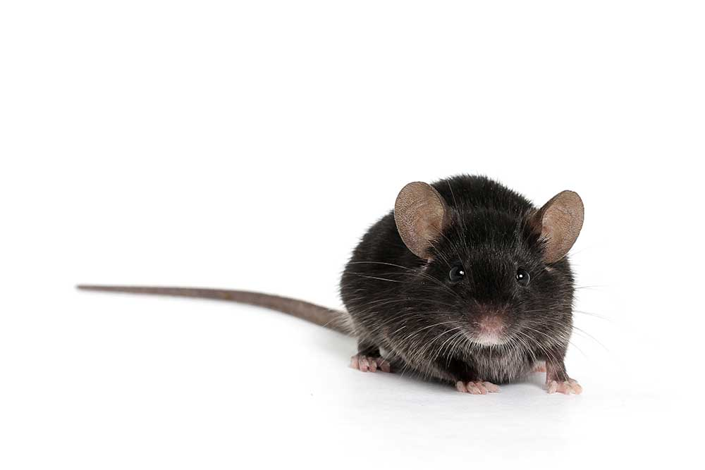 Black mouse isolated on white