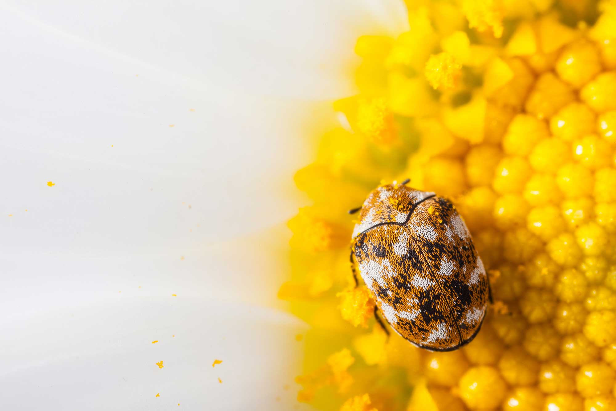 Close of up a varied carpet beetle